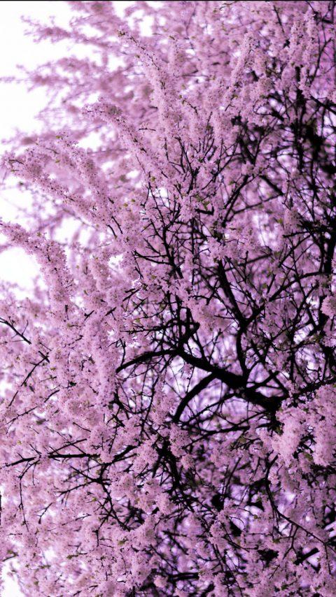 Trees Blooming wallpaper